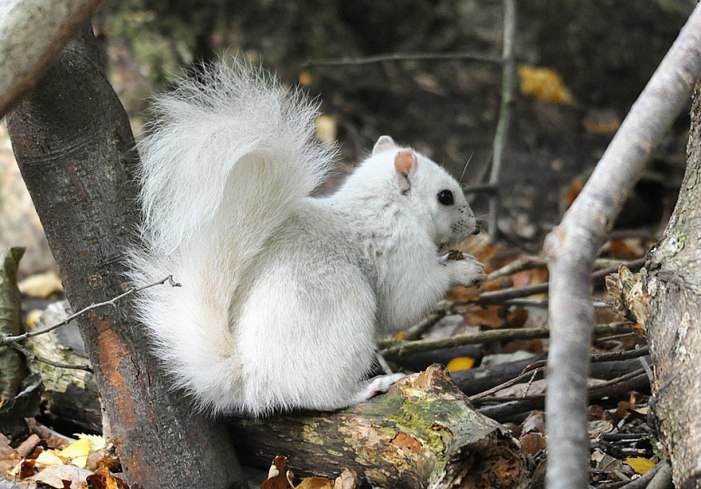 rare-white-squirrel-photo-andrew-fulton-marbury-country-park-uk-6